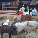 Levende kerststal
